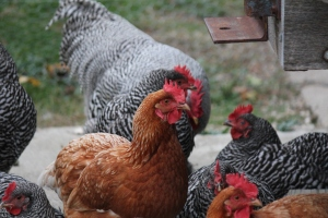 Golden Comet and Plymouth Rock laying hens (the girls) and our only rooster, Rooster!